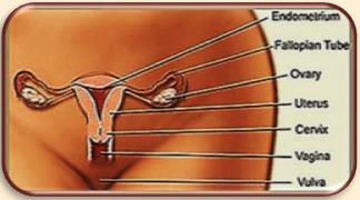 Malassezia in Vagina 1